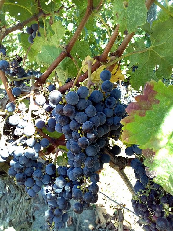 Au pied des vignes du Château La Marzelle, Saint-Emilion